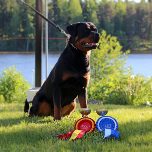 image of the Rottweiler dog Dakota
