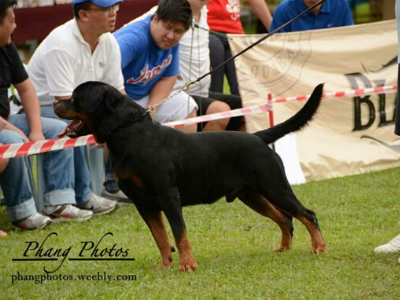 image of the Rottweiler dog Enrique
